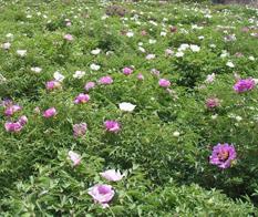 甘肃牡丹园林为您提供最独特的牡丹品种