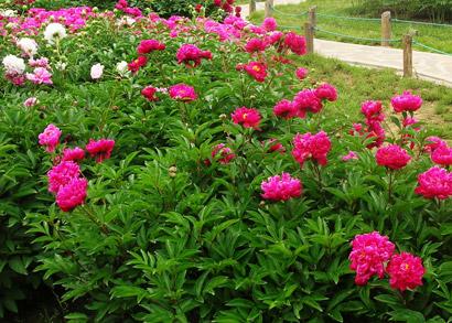 沈阳植物园紫斑牡丹样板园