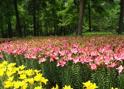 沈阳植物园百合花花展