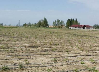 甘肃油用牡丹和大枣套种,在新疆乌苏喜获成功