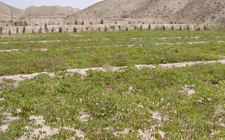 高海拔西藏地区成功引种甘肃油用牡丹