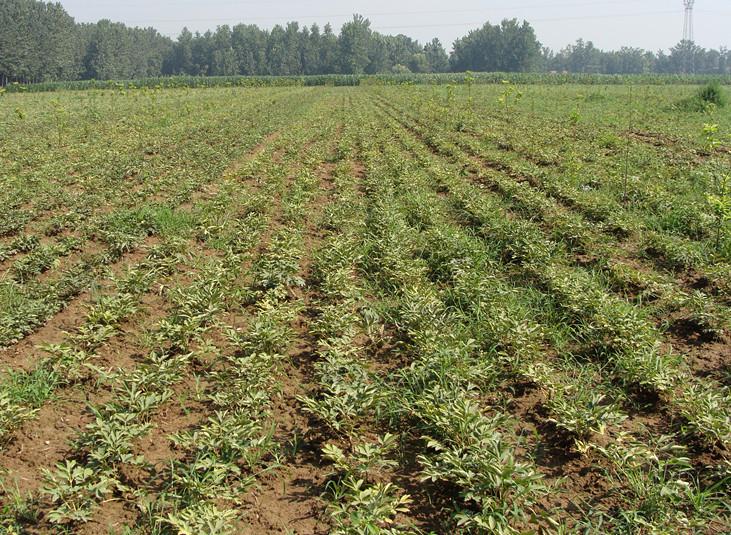 寒冷地区黑龙江伊春推广种植油用牡丹