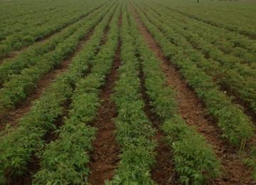 甘肃油用牡丹在牡丹江寒冷地区种植成功