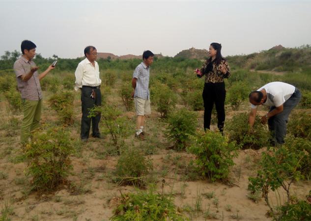甘肃油用牡丹在陕西定边的沙地栽种成功