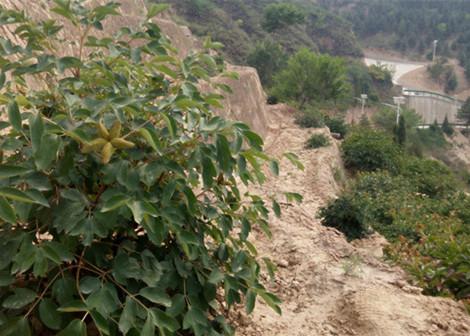 陕西榆林山坡地栽种牡丹获得成功